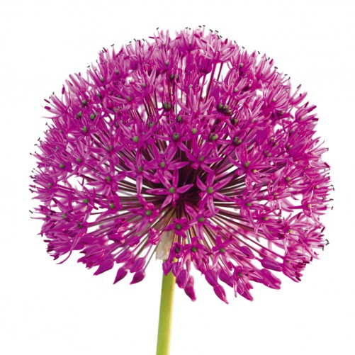 glasbild purple allium i blume blumen pflanzen lila 30x30 cm. Black Bedroom Furniture Sets. Home Design Ideas
