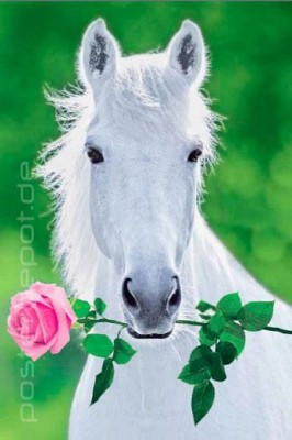 poster white horse pferd schimmel reiten rose im maul 61 x 91 5 cm ebay. Black Bedroom Furniture Sets. Home Design Ideas