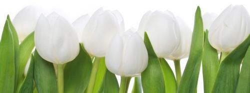 glasbild wei e tulpen blumen bl ten nahaufnahme 80 x 30 cm ebay. Black Bedroom Furniture Sets. Home Design Ideas