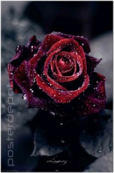 Poster Luxury Rose