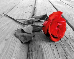 Poster Red Rose on Wood