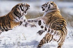 Poster Siberian Tigers