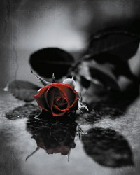 Poster Red gothic rose
