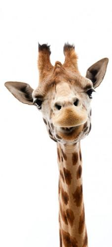Selbstklebende Tapete Entfernen : Selbstklebende T?rtapete Giraffenkopf ? Bild 1
