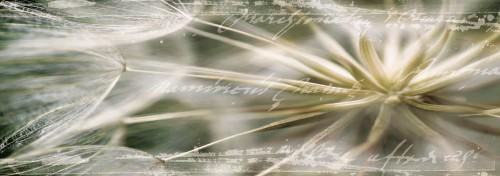 Glasbild Pusteblume in Nahaufnahme